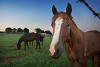 Horses in early morning on South Farm. (photo by Beth Wynn / © Mississippi State University)