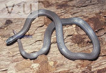Sharp-tail Snake (Contia tenuis), California, USA.
