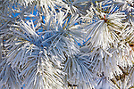 Frost covered  branches of a ponderosa pine tree during a Montana winter
