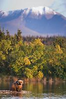 Brown bear, Brooks River, Kejulik mountains, Katmai National Park, Alaska.