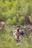Red-necked grebe and chick riding on the back, Flat lake, Alaska.