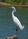 Snowy egret, Egretta thula. Tarcoles River, Costa Rica