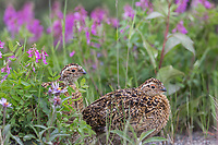 Willow ptarmigan chicks in wild pea blossoms, Denali National Park, Alaska.