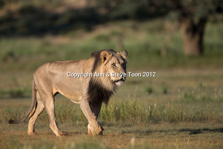 Lion (Panthera leo) male, Kgalagadi transfrontier park, Northern Cape, South Africa, February 2017