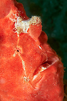 Commerson's frogfish (Antennarius commerson, Antennarius commersoni), red, portrait, Palawan, Mimaropa, Sulu Lake, Pacific Ocean, Philippines, Asia