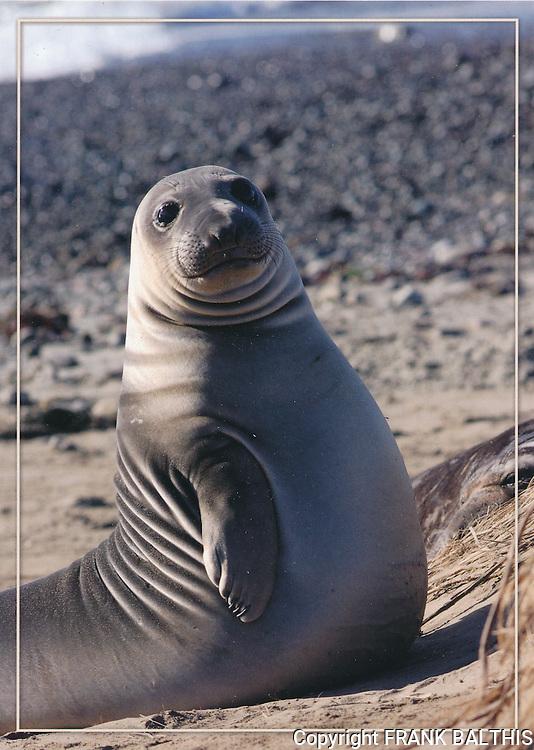 FB 379,  elephant seal weaner