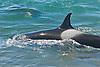 Orca's at Punta Norte, Argentina