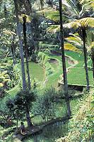 Rice Farming Terraces - Bali