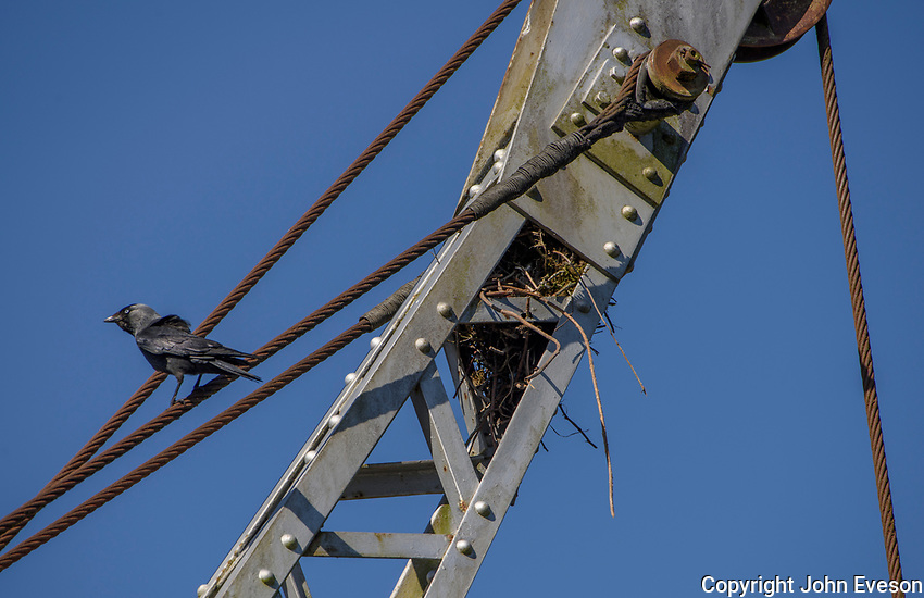European jackdaw making a nest in an old crane, Chipping, Preston, Lancashire.