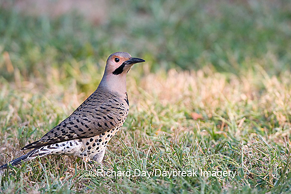01193-013.16 Northern Flicker (Colaptes auratus) male feeding on ground, Marion Co.  IL