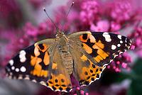 Distelvlinder (Cynthia cardui) op vlinderstruik