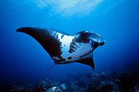 manta ray, Manta birostris, Flower Garden Bank, Texas, Gulf of Mexico