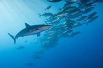 San Benedicto Island, Revillagigedos Islands, Mexico; a silky shark swimming through a polarized school of bigeye jacks in blue water