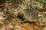 Short-beaked Echidna (Tachyglossus aculeatus) walking through brush, Jervis Bay, Booderee National Park, New South Wales, Australia