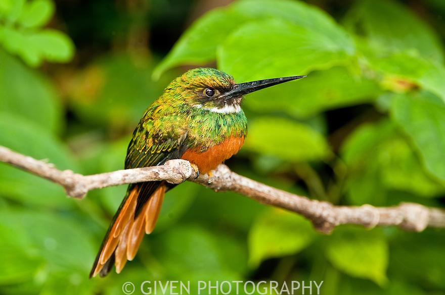 Rufous-tailed Jacamar, Belize