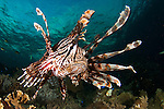 Close up of a lionfish, Pterois volitans, Raja Ampat, West Papua, Indonesia