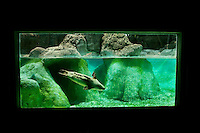 A seal swims in a display tank at The North Carolina Zoo, located in the town of Asheboro, North Carolina. The North Carolina Zoo, located about 70 miles west of Raleigh and about 90 miles from Charlotte, is one of the largest natural habitat zoos in the United States that allows visitors to walk through its grounds. One of only two state-supported zoos in the country, the NC Zoo was the first American zoo to incorporate the natural habitat philosophy, which presents animals and plants together in exhibits that resemble the natural habits of these creatures in the wild. The North Carolina Zoological Park features animals from Africa and North America. The 1,500-acre  zoo is located atop Purgatory Mountain, which is part of the Uwharrie Mountains in central North Carolina.