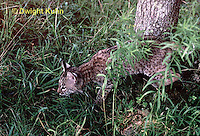 MA26-093z  Bobcat - young - Felis rufus