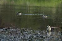 Green heron, Butorides virescens. Pena Blanca Lake, Coronado National Forest, Arizona