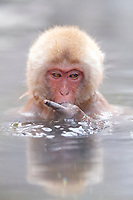 Japanese macaque, or snow monkey, Macaca fuscata, juvenile, taking a bath in hot spring, giving the middle finger, Jigokudani Monkey Park, Yamanouchi, Joshinetsu-kogen National Park, Nagano Prefecture, Japan