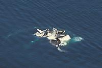 four adult humpback whales, Megaptera novaeangliae, bubble net feeding, aerial sequence, Lynn Canal, Alaska, USA, Pacific Ocean