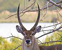 Waterbuck, Shire River, Liwonde NP, Malawi