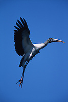 A Wood stork (Mycteria americana) in flight, preparing for landing.