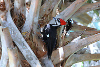 "Pileated Woodpecker ""attacking"" a palm tree near the entrance to the Cypress Swamp at Arthur Marshall Loxahatchee Preserve, Boynton Beach, Florida."