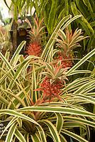 Ananas comosus 'Variegata' (Variegated Pineapple)