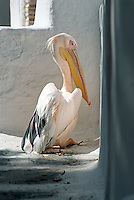 Petros the pelican has been officially declared as the mascot of Mykonos. He has made Mykonos his home since 1954. The original Petros passed away after spending thirty years strolling leisurely through the city's many twisting alleyways. Today three pelicans live around Mykonos Town. One of them is also named Petros.