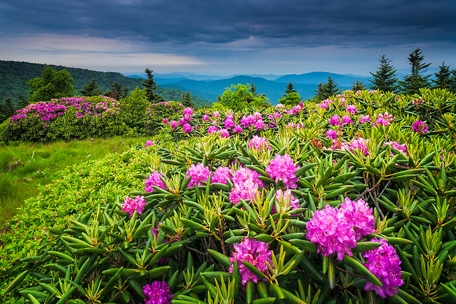 Blooming Catawba Rhododendron (Rhododendron catawbiense) on Round Bald, Roan Highlands