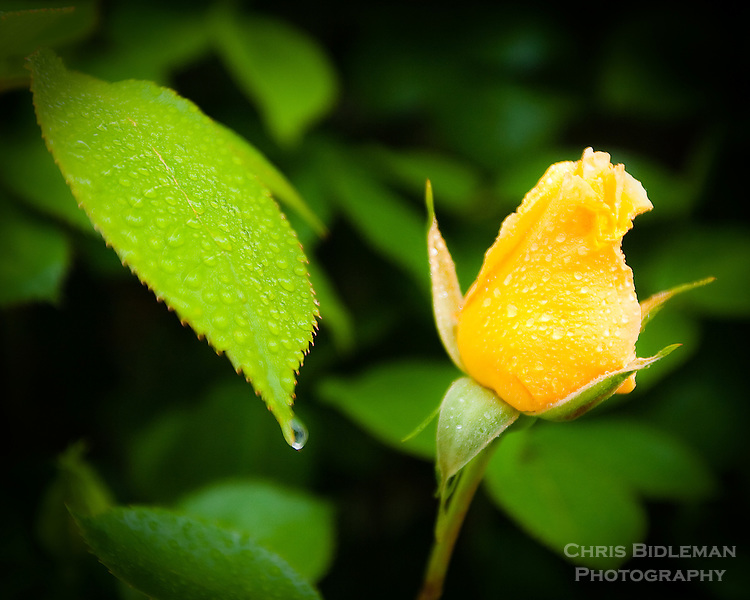 Single yellow rose in the garden with raindrops on leaves