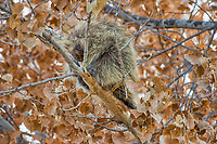 North American porcupine (Erethizon dorsatum)--also known as the Canadian porcupine or common porcupine--resting up in cottonwood tree. Western U.S., late fall.