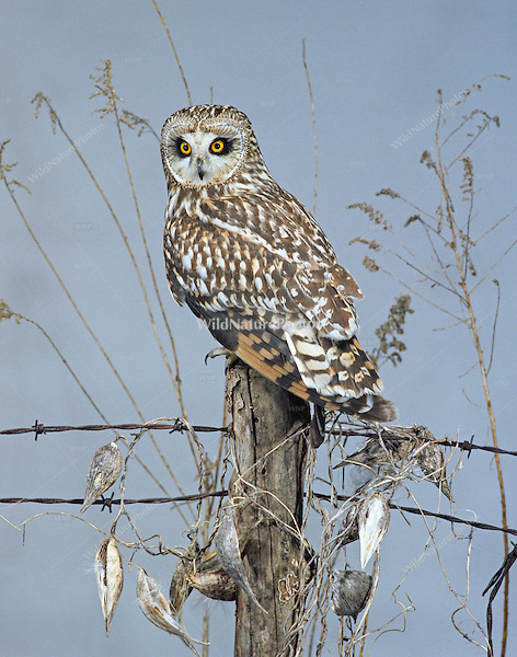 Short eared Owl (Asio flammeus), perched on a barbed wire fence post (Ohio)