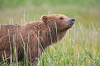 Brown bear in grass, Katmai National Park, Alaska Peninsula, southwest Alaska.