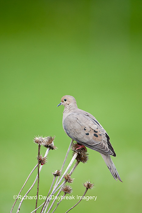 01081-01204 Mourning Dove (Zenaida macroura) on seed head of Purple Coneflower (Echinacea purpurea) Marion Co,.IL