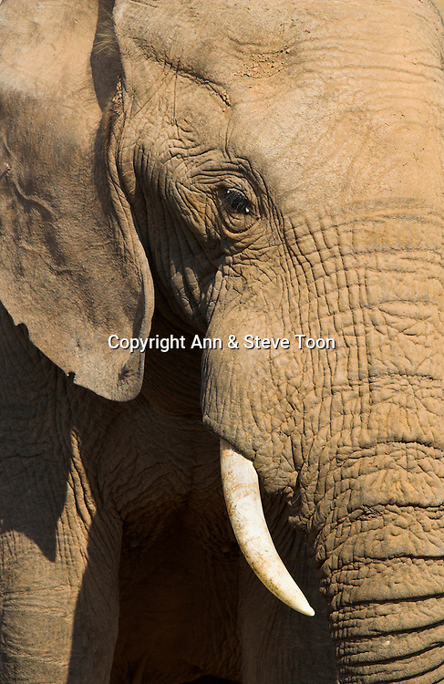 Elephant bull, Loxodonta africana, in close up at water, Addo Elephant National park, Eastern Cape, South Africa