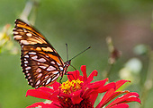 Mexican Silverspot sits on a red flower against a mult-green background.