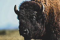 Bison or Bufalo within prairie and pasture in protected natural area. Rancho el Uno, a space dedicated to the conservation of this species in Janos, Chihuahua. This fishery was reintroduced by the organization The Nature Conservancy, TNC. Janos Biosphere Reserve<br /> &nbsp; (&copy; Photo: LuisGutierrez / NortePhoto.com<br /> <br /> Bisonte o Bufalo dentro de pradera y pastizal en area natural protegida. Rancho el Uno, espacio dedicado a la conservacion de esta especie en Janos, Chihuahua. Esta pescie fue reintrodudida por la organizacion The Nature Conservancy, TNC  . Reserva de la Biosfera de Janos<br />  (&copy; Foto: LuisGutierrez/NortePhoto.com
