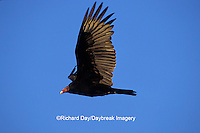 00780-00607 Turkey Vulture (Cathartes aura) in flight Marion Co.   IL