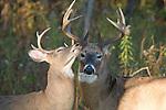 White-tailed bucks (Odocoileus virginianus) grooming each other