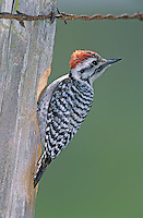 Ladder-backed Woodpecker, Picoides scalaris,male at cavity in fence post, Welder Wildlife Refuge, Sinton, Texas, USA
