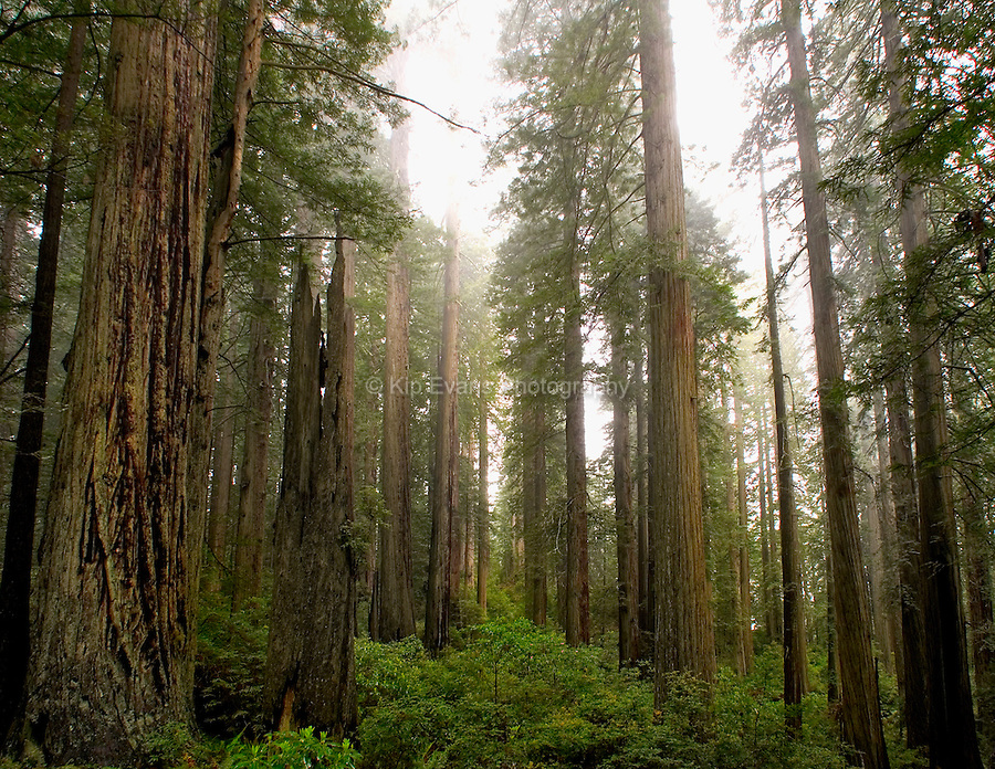 Redwood trees towering towards the sky in Redwood Forest National Park, California.