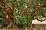 T-139 Carob tree in Jerusalem Forest