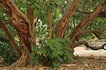 Israel, Jerusalem Mountains, Carob tree (Ceratonia Siliqua) in Jerusalem Forest