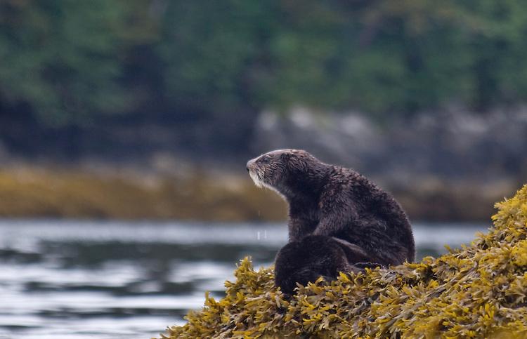 Sea otter mother nursing pup, Enhydra lutris, Alaska, Prince William Sound,