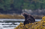 Sea otter mother nursing pup, Enhydra lutris, Alaska, Prince William Sound,