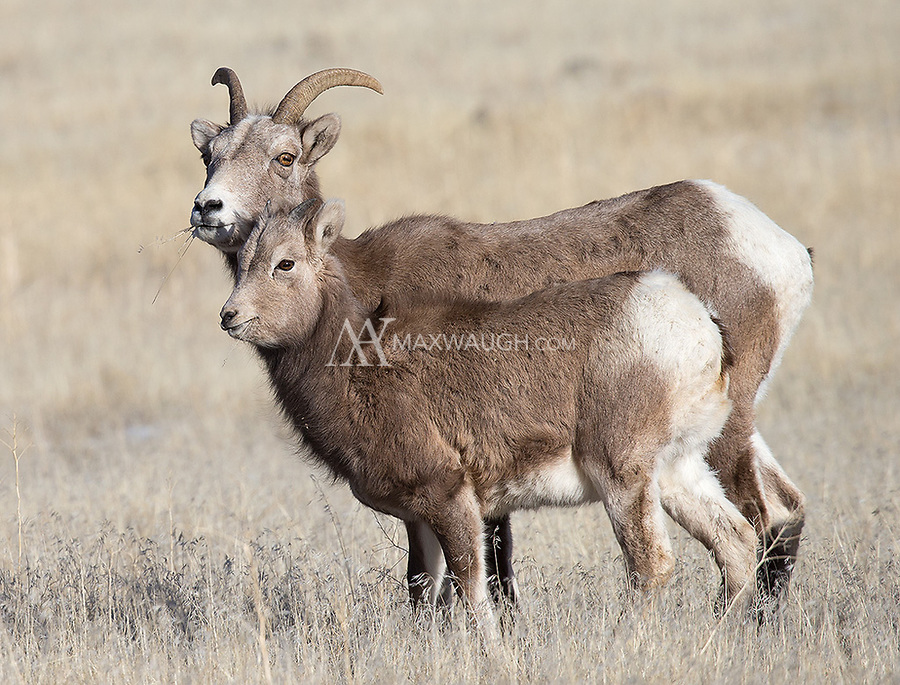 A lamb accompanies a young male bighorn.