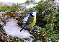Blue Tit grasping seed on pine branch