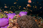 colorful tropical reefs, healthy reefs, reefscapes, Wide Angle, Radianthus magnifica, purple anemones